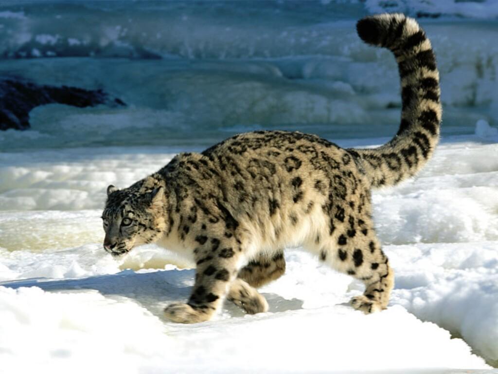 http://chadao.files.wordpress.com/2008/10/snow-leopard.jpg