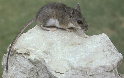 Texas Mouse